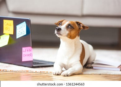 Little dog indoor. Pet at the laptop. Cute dog having a lot human tasks to do. Overloaded Jack Rassel Terrier is busy.