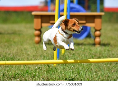 little dog is jumping over a hurdle