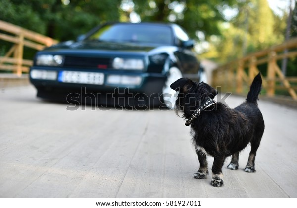 Little dog looking at the car / Little dog and car / little black dog looking back at he green car