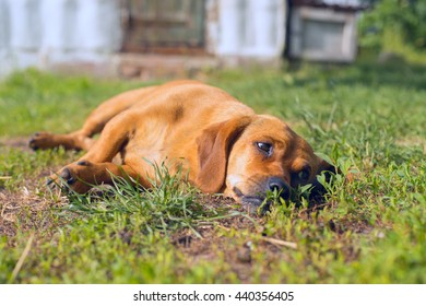 Little dog lying in a meadow among green grass. Dreamy dog's muzzle.