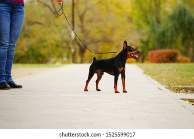 Little dog (miniature pinscher or minipin) standing on a leash next to its master and looking into the distance. Beautiful autumn park in the background.