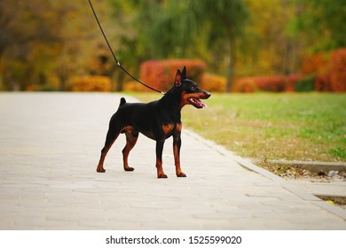 Little dog (miniature pinscher or minipin) standing on a leash and looking into the distance. Beautiful autumn park in the background.