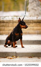 Little dog (miniature pinscher or minipin) sitting on the ground outdoors on a leash and looking into the distance. Vertical photo