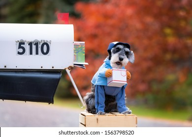 Little dog, miniature schnauzer dressed up in costume as letter carrier holding little package in front of US Mailbox.  Pretty shallow depth of field with colorful trees.