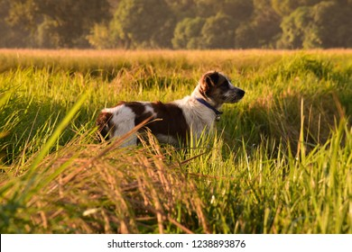 Little dog in the morning field