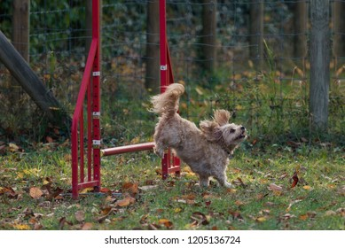 Little dog on agility field for dogs, training and competing, jumping over obstacles, crossing over balance ramp, passing through the tunnel, running slalom