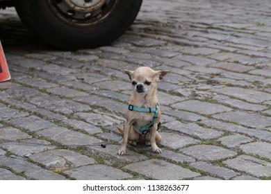Little dog on a leash
