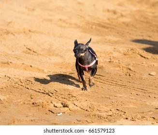 Little dog pinscher