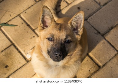 Kunming Wolfdog Images Stock Photos Vectors Shutterstock The kunming wolfdog hails from the great middle kingdom of china and excels at all investigation tasks. https www shutterstock com image photo little dog portrait indy 1182408340