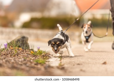 little dog pulls on a leash while walking, Jack Russell Terrier doggy 2 years old