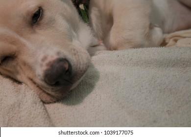 Little dog puppy getting asleep