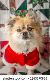 little dog in a santa suit staring into camera