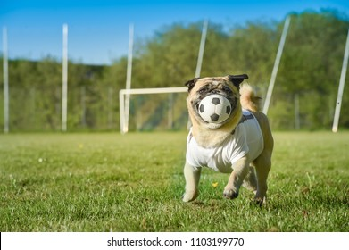 Little dog is sitting on the football field. The pug wears a T Shirt with copy space. He is attentive and guards a small football. It's a sunny day on the grass field.