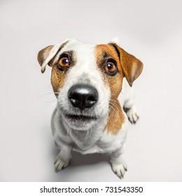 Little dog at studio looking up. Portrait pet. Puppy jack russel terrier