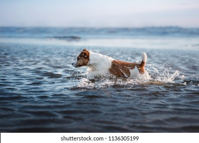 little dog in the water, jumping on the wave. Jack Russell Terrier. Pet on vacation