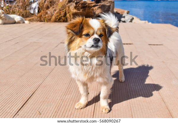 Little dog in white fur with brown pattern.