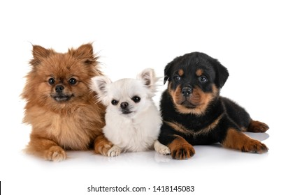 little dogs in front of white background