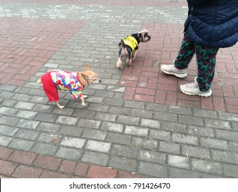 Little dogs in funny clothes for a walk in the city