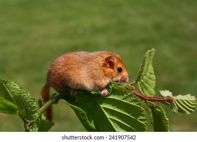 little dormouse climb the twigs in nature