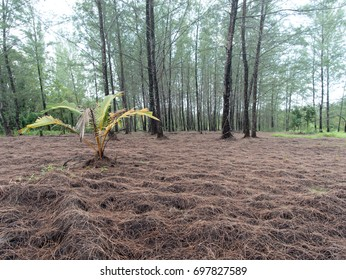 Little dry sugar palm in front of the pine forest with dry branch on the clay