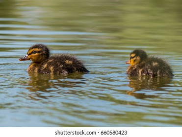 Little duckling on the lake.