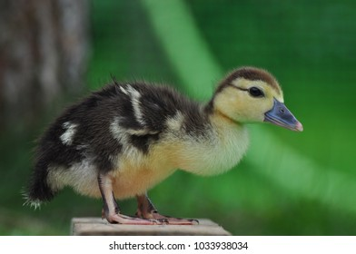 A little duckling went for a walk in the green garden. He is very curious and inexperienced. Indots can live outside the will. Green grass surrounds the young fledgling baby