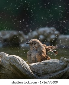 little dunnock having a bath