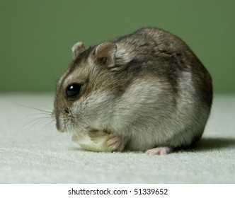 Little dwarf hamster eating a cheese