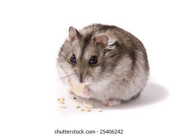 little dwarf hamster eating pumpkin seed