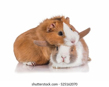 Little dwarf rabbit with guinea pig isolated on white