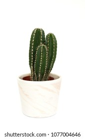 little Echinocereus Cactus plant in marble flower pot, isolated on white background