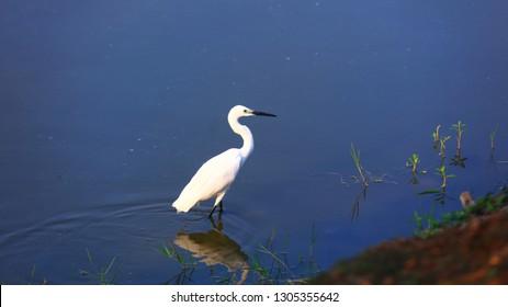 Little egret bird in Kolleru lake India