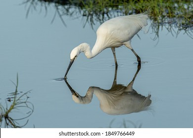 A Little Egret catching fish