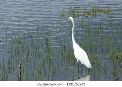Little egret in Chobe National Park, walking over the river with some grass around, during the wet season in a sunny day, with some reflecs over the water. Botswana, Africa