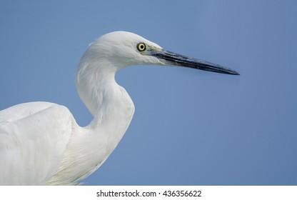 Little Egret Close up