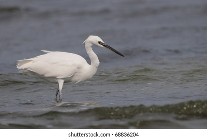 A Little Egret (Egretta garzetta) catching fish on the shore of the Black Sea.