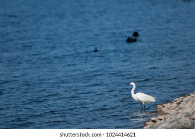 Little egret (Egretta garzetta). El Fraile lagoon. Arona. Tenerife. Canary Islands. Spain.