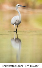 Little egret (Egretta garzetta) Large white bird standing in the water and hunting some fish. Long black beak, white body, long black foots with yellow fingers. Orange diffused background. Slovakia