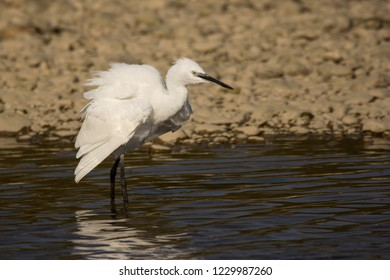 Little egret (Egretta garzetta) in natural habitat, egret catching fish in shallow water on the river shore, little white egret