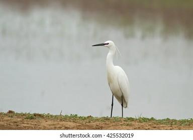 Little egret (Egretta garzetta) on the coast of pond