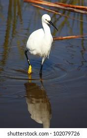 Little Egret (Egretta garzetta) at the Rondevlei Nature Reserve, South Africa