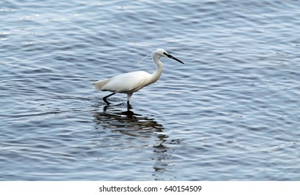 The little egret (Egretta garzetta) single bird hunting for fish in water near Danube river in Zemun,Belgrade,Serbia.