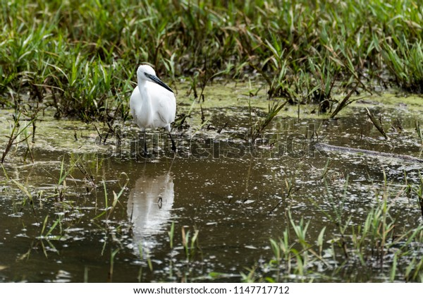 The little egret (Egretta garzetta) small heron fishing in water in Kampala, Uganda, Africa