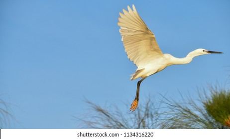"The little egret (Egretta garzetta) is a species of small heron in the family Ardeidae. The genus name comes from the Provençal French Aigrette, ""egret"", a diminutive of Aigron,"" heron""."