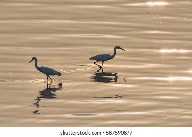 "The little egret (Egretta garzetta) is a species of small heron in the family Ardeidae. The genus name comes from the Provençal French Aigrette, ""egret"", a diminutive of Aigron,"" heron"""