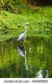 Little egret (Egretta garzetta) standing in water