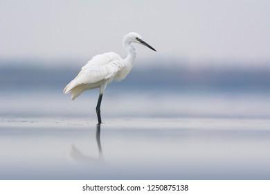 Little egret (Egretta garzetta). Tylihul Estuary, Ukraine