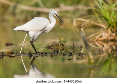 Little egret (Egretta garzetta)Large white bird standing and defecate in the water. Long black beak, white body, long black foots with yellow fingers. Orange diffused background. Scene from nature.