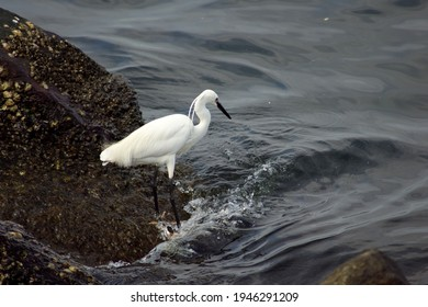 little egret fishing in Manila baywalk