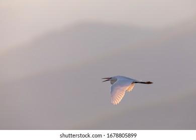 The little egret in flight. Beautiful white egret from Kerkini lake in Greece.